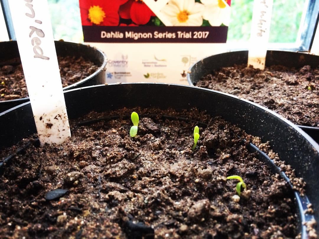 Dahlia Seedlings